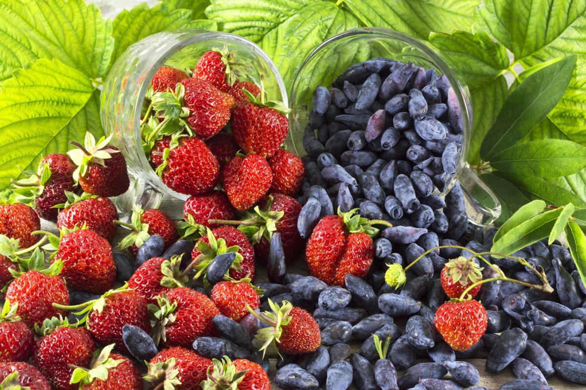 Piles of honeysuckle berries and strawberries in cups, Haskaps