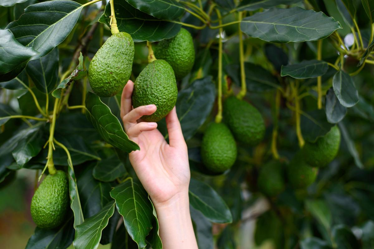 Dirty Fingernails Follow These Steps To Grow An Avocado Tree Local News Ravallirepublic Com
