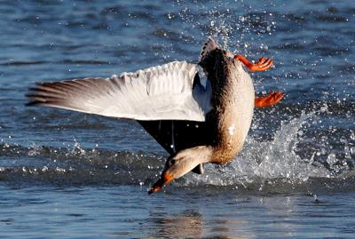 4d0450931f533 Waterfowl regulations available; hunting season forecast good ...