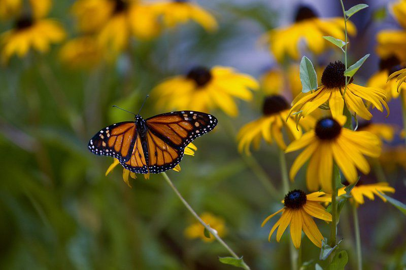 Common milkweed is a wildflower, not a weed