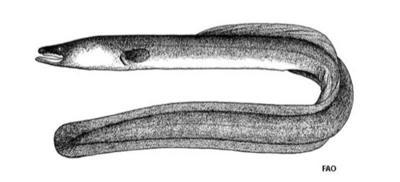 Proposed eel farm raises concerns about invasive species