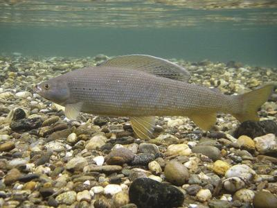 Arctic grayling program boosted