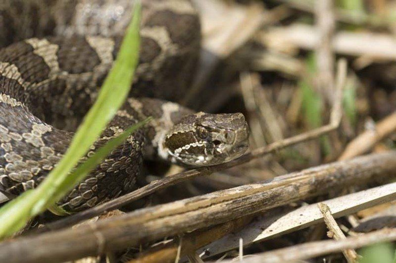 DNR pic of eastern massasauga rattlesnake (copy)