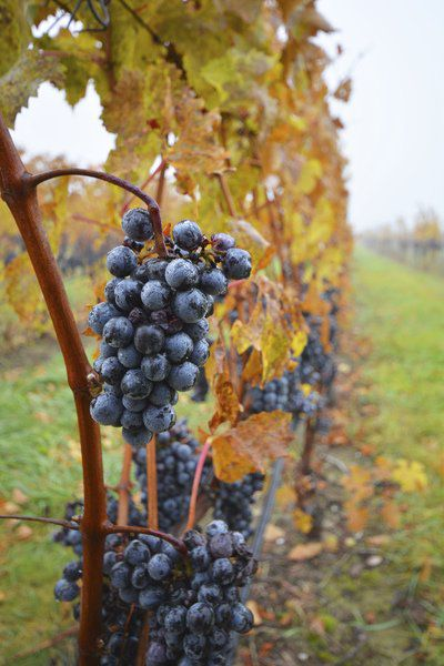 Wine growers breath sigh of relief