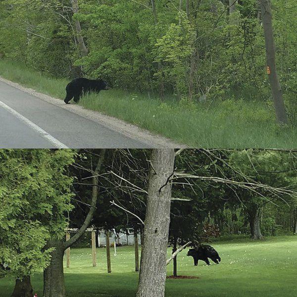 Black bear population climbing