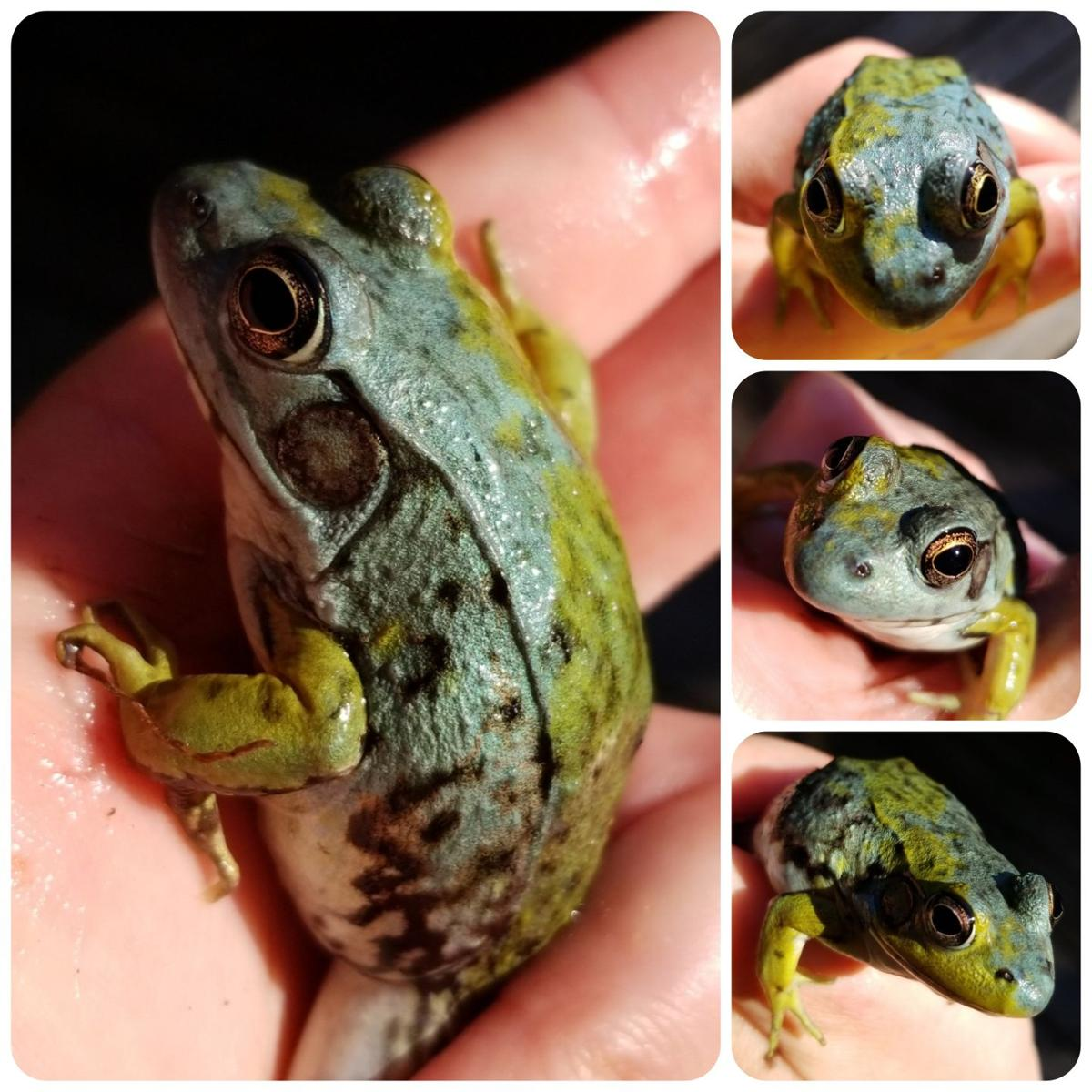 Rare blue frog found in Kingsley | GO | record-eagle.com