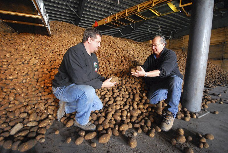 Strong harvest brings in 60M pounds of potatoes