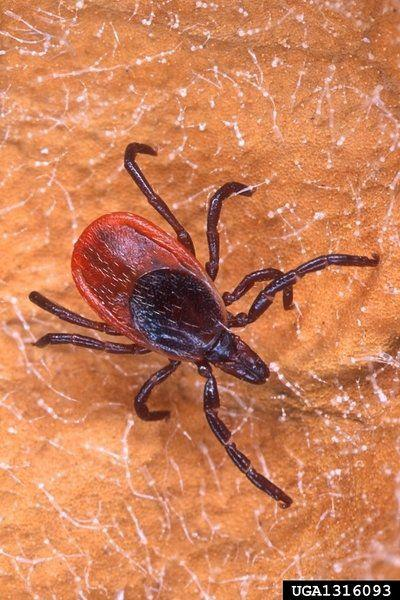 Tick Explosion or Uptick