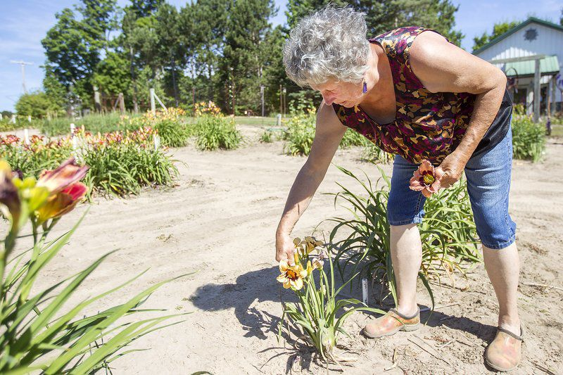 Fields of Gold: Centennial farm offers up 1,000 day-lily varieties ...