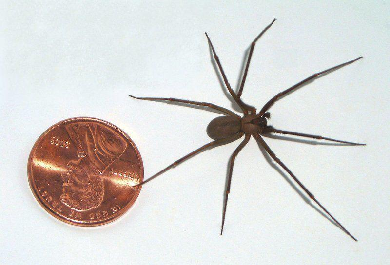 Visitor Brown Recluse Spider Bite Reported At Dunes Local News Record Eagle Com