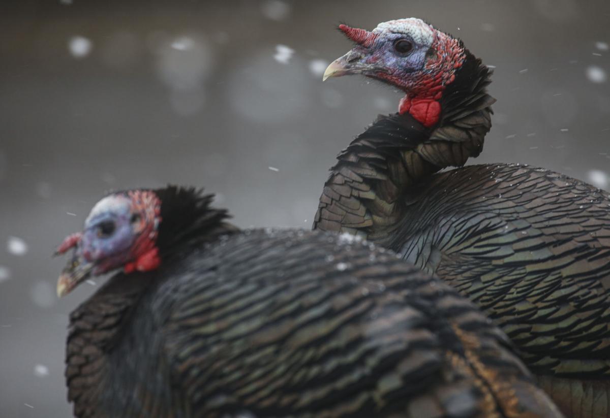 tcr-011020-Turkeys
