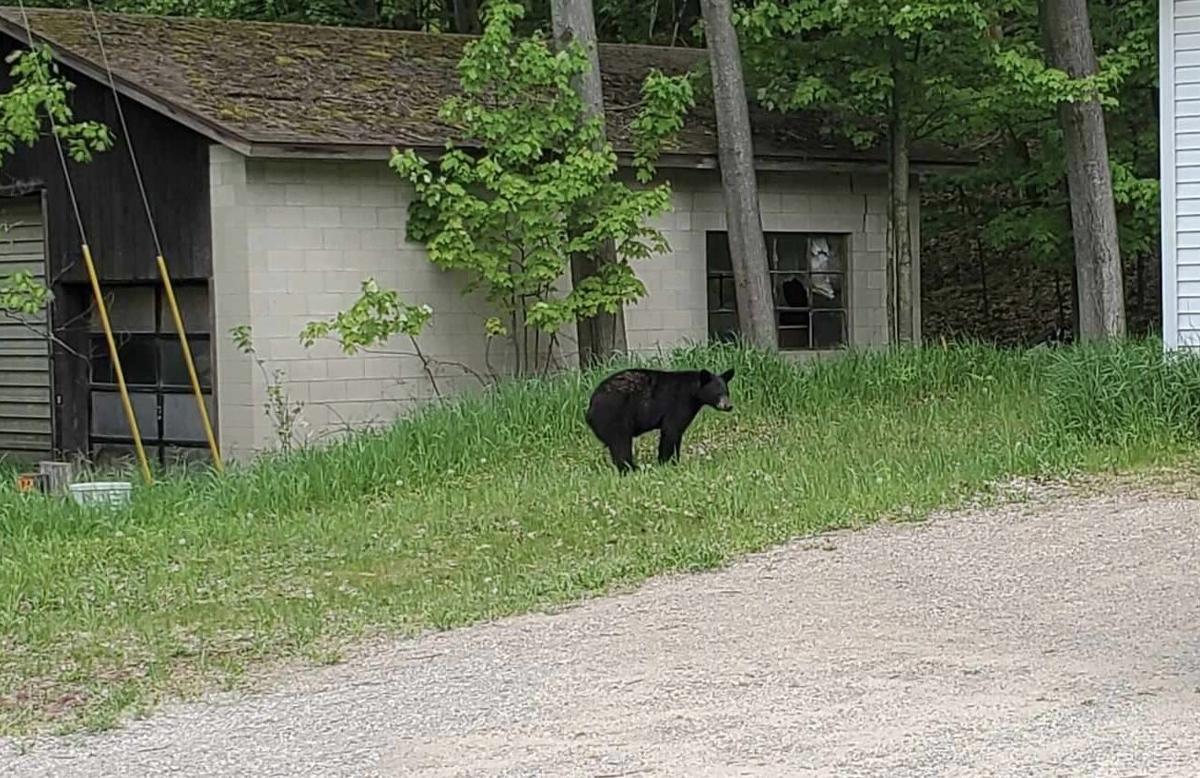 Glen Lile bear photo