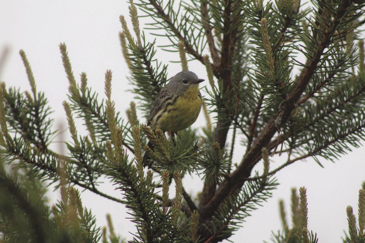 Kirtland's warbler female photo