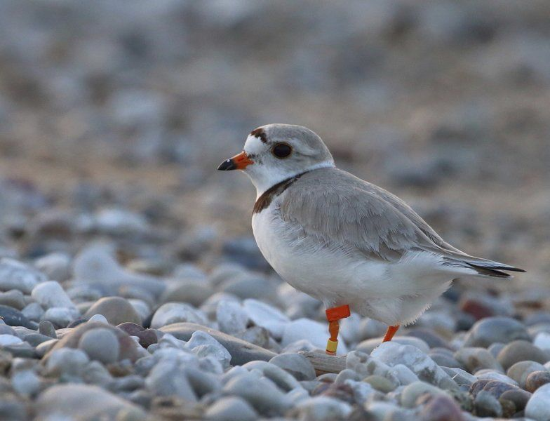 Rebound: Piping plovers found on every lake | Local News | record ...