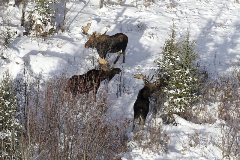 Michigan Moose On The Loose    And On The Rebound