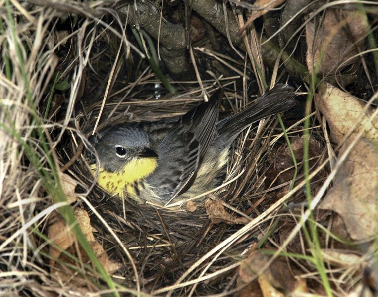 Kirtland's warblers back up north