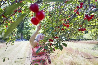 Cherry Harvest teaser