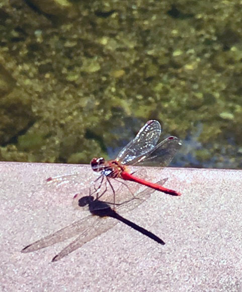 Crystal River dragonfly