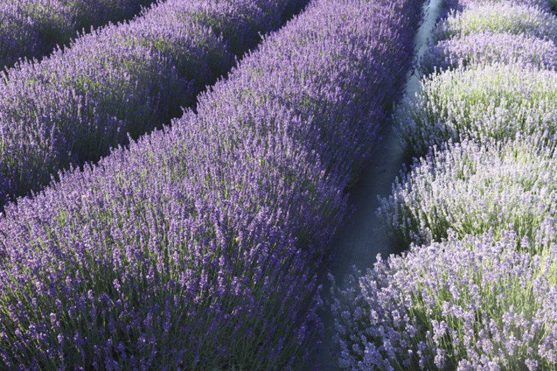 A growing purple passion -- Local farmers love lavender | GT