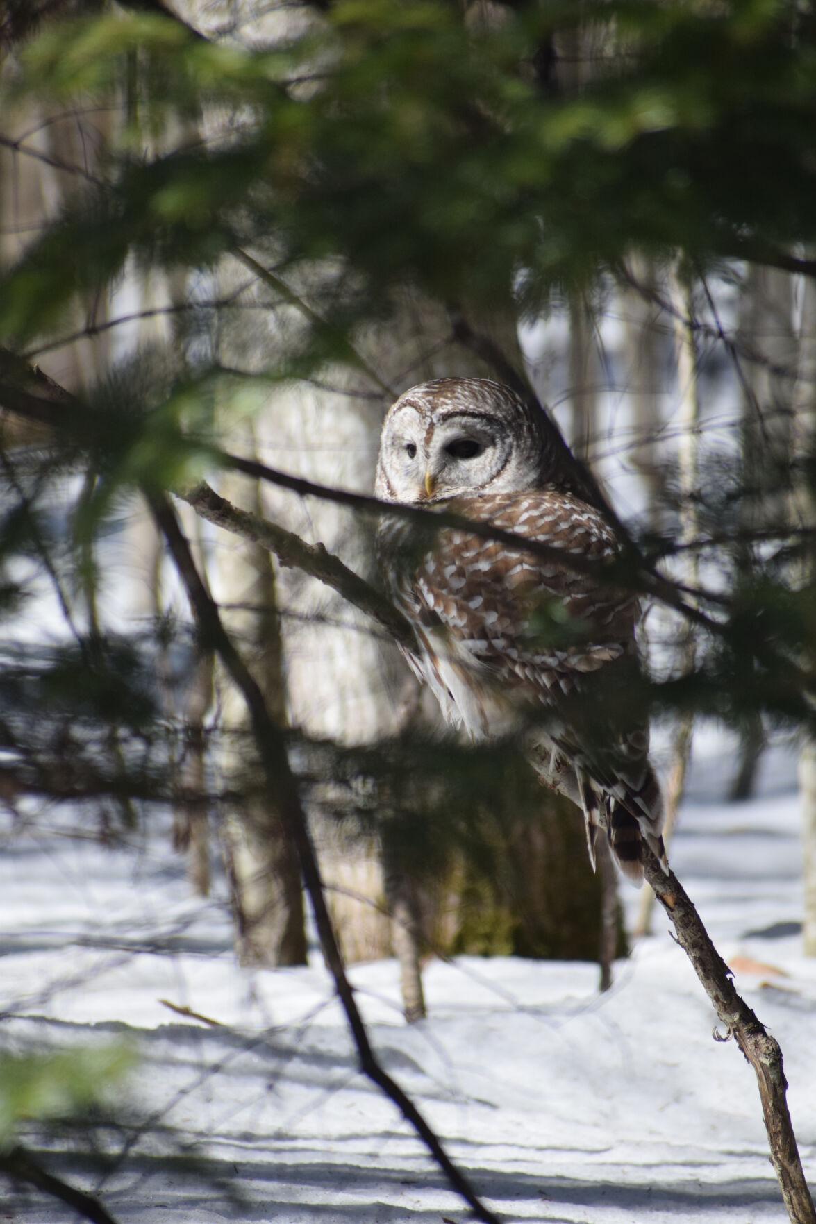 Grass River Owl.jpg