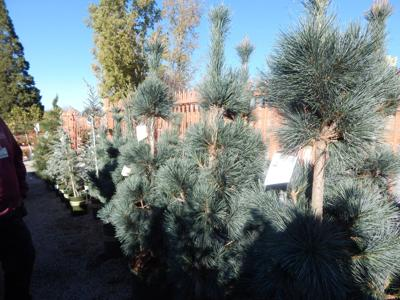Trees Available At Cherry Valley Nursery