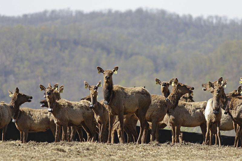 Elk in West Virginia? Believe it!