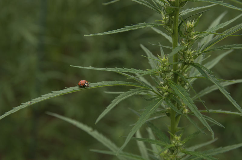 Industrial hemp gets its start in West Virginia