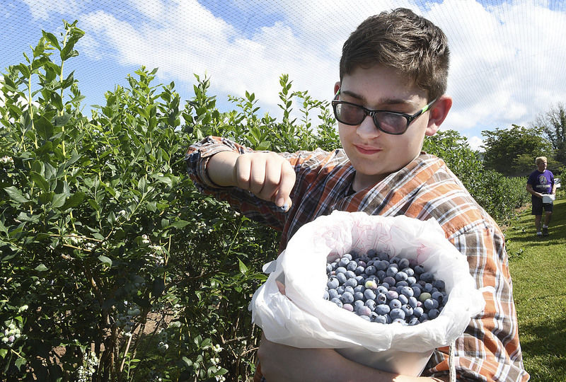 Home Grown Blueberry farm open for pickers