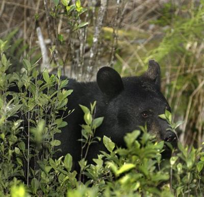 Facts about black bears