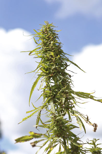 Year closes on first public industrial hemp grown in decades