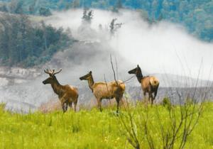 Arizona elk brought to West Virginia