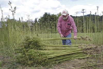 Year closes on first public industrial hemp grown in decades- With Video