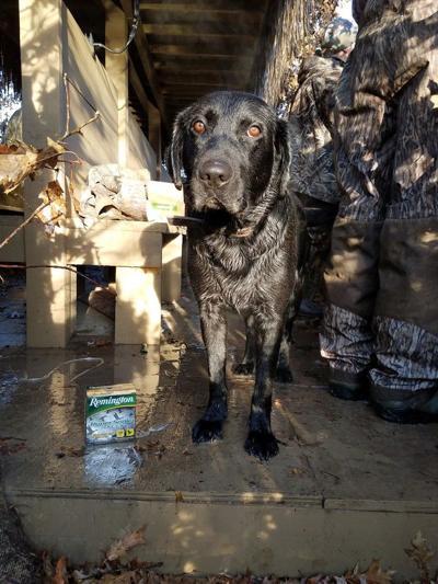 Labradors, mallards and Remington shotguns