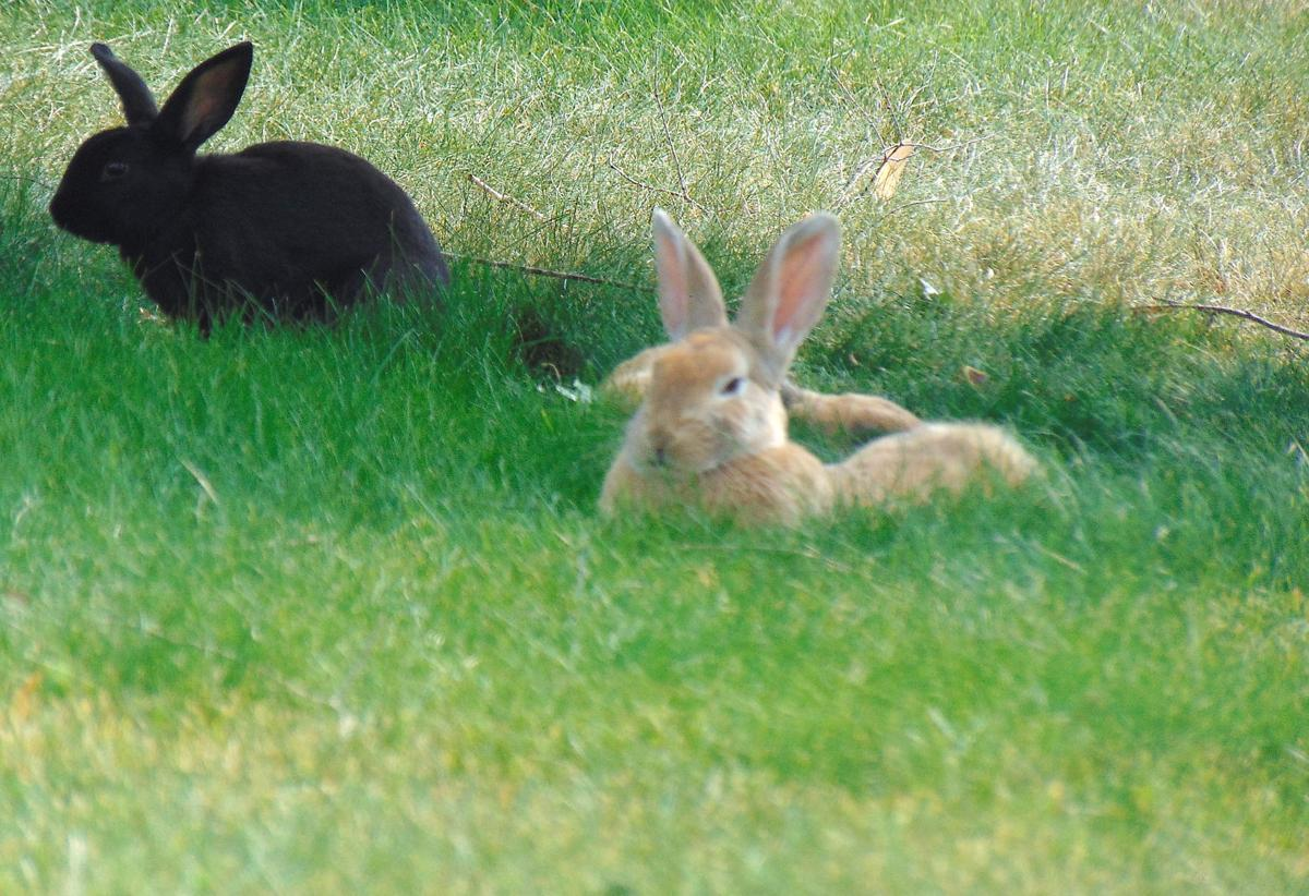 'St. Anthony Bunny Catch' planned for this weekend at Jaycees Park
