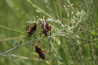 Mormon crickets are invading Southeast Idaho
