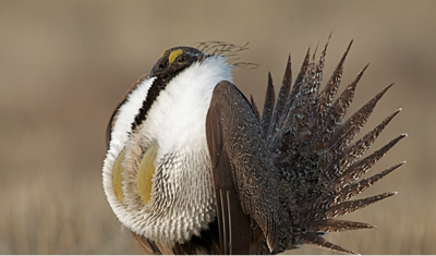 Hunters can weigh in on the proposed 2020 fall sage-grouse hunting season