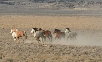 BLM to conduct wild horse bait trap gather in Saylor Creed Herd Management area