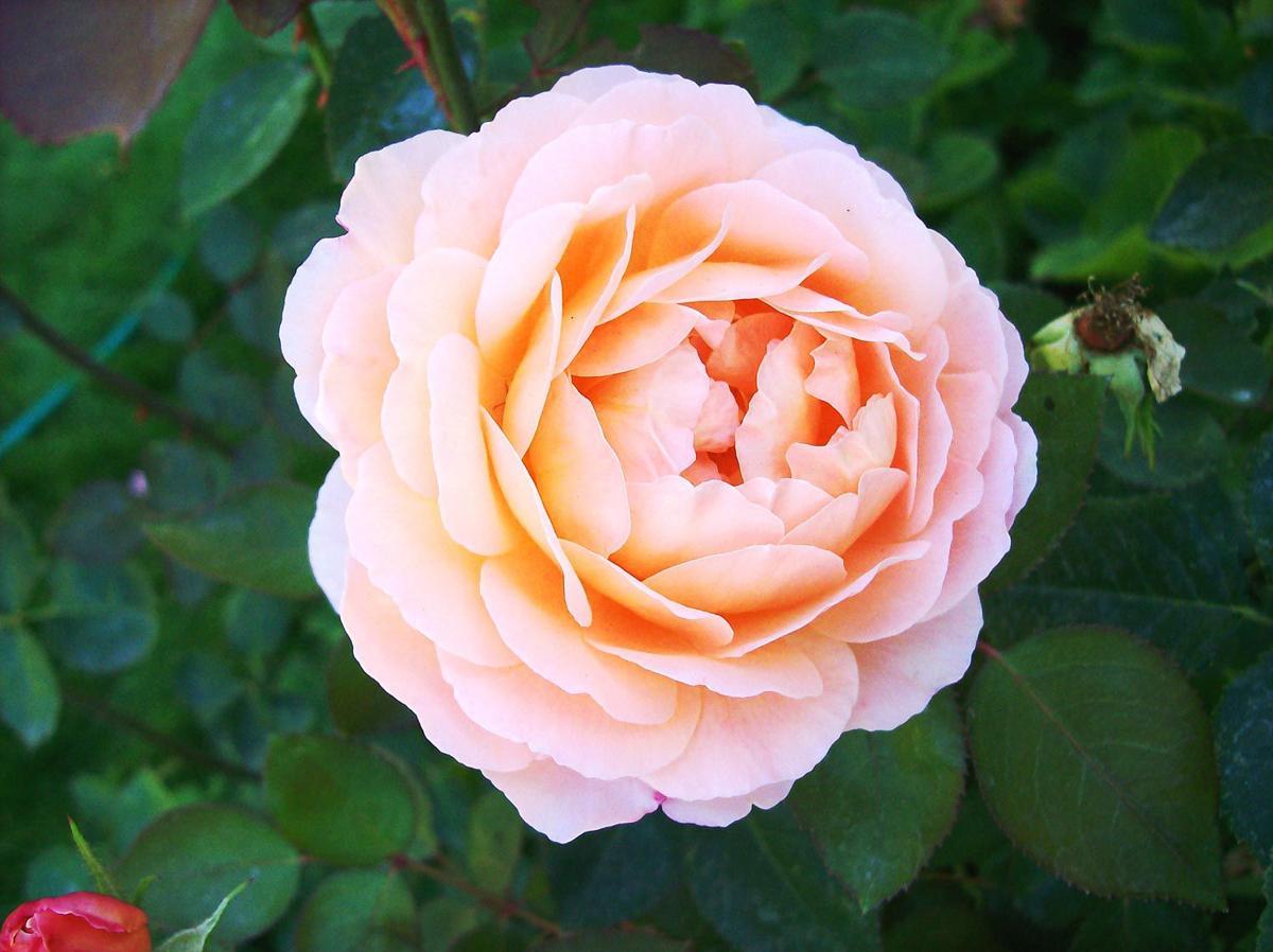 the gardener hardy beautiful english roses columns. Black Bedroom Furniture Sets. Home Design Ideas
