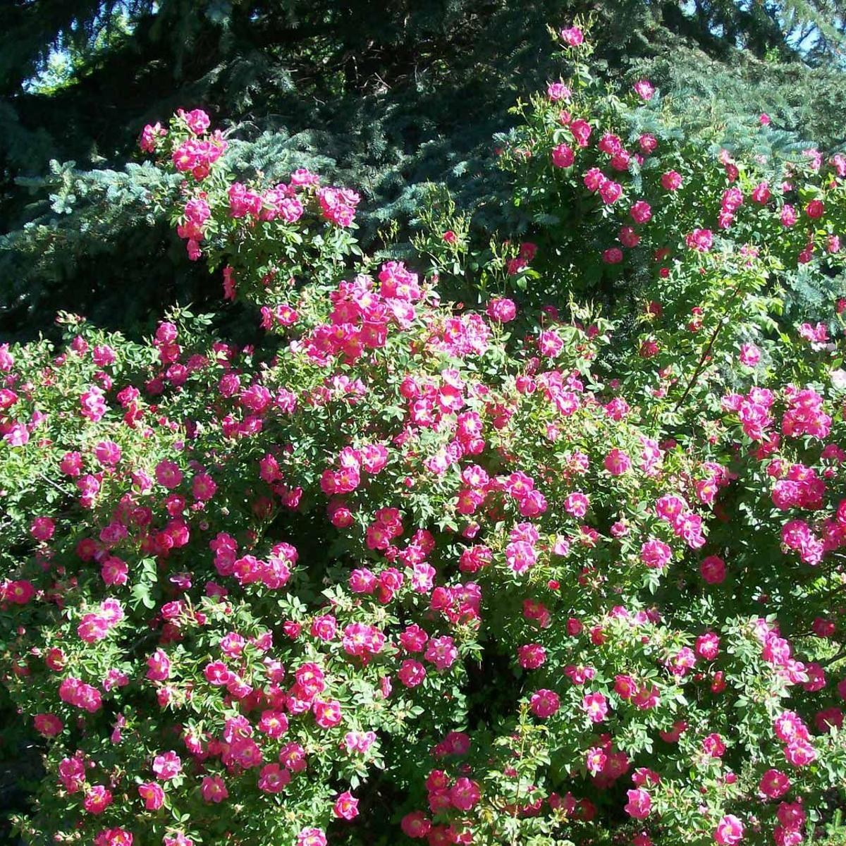 The Gardener Growing Roses The Easy Way Columns