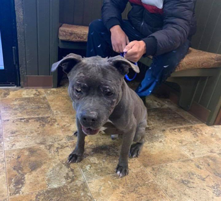Apollo missing blue nose pit bull reunited with owner