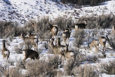 Migration season is coming for deer and elk