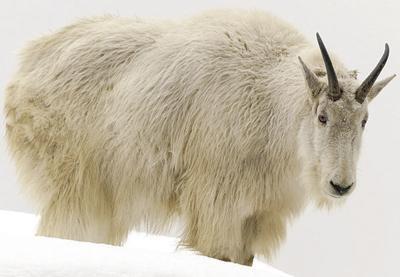 Helicopter gunners to kill Teton park mountain goats