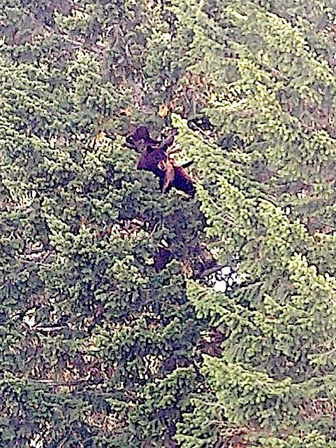 Mama bear and five bear cubs make themselves at home in Marysville