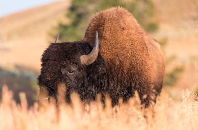 Female visitor injured after approaching bison in Yellowstone National Park