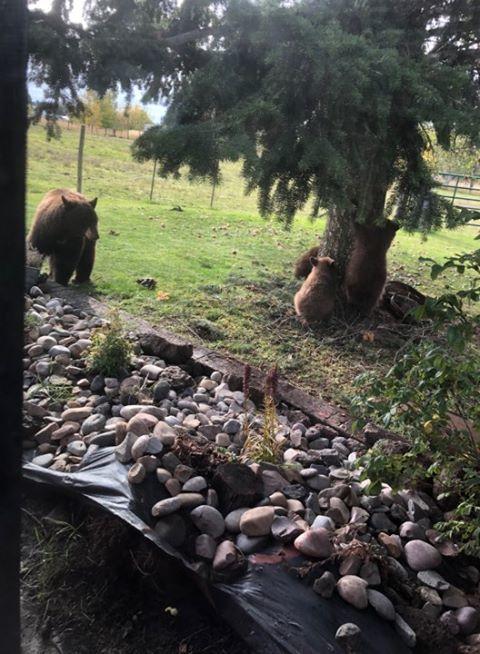 Marysville resident witnesses bears eating apples in her yard