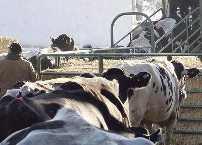 Cows dairy closes