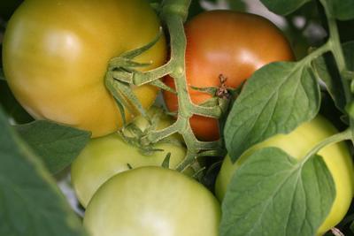 Tomatoes Lance Ellis