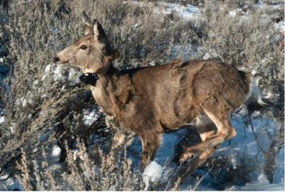 Winter survival for radio-collared mule deer fawns and elk calves average to slightly above average