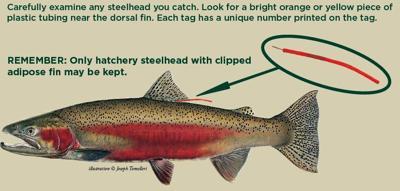 Understanding Idaho's Steelhead Fishery - U of I study update