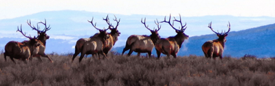 Most capped resident elk tags go on sale July 10, Sawtooth Zone tags on July 13
